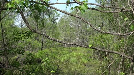 Louisiana-branches-over-swamp-at-Lake-Martin