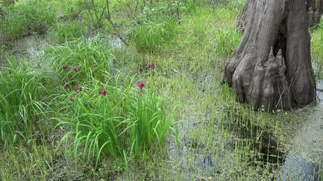 Louisiana-iris-and-tree-trunk-in-swamp