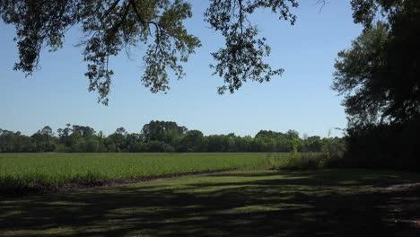 Louisiana-live-oak-leaves-and-sugar-cane-field