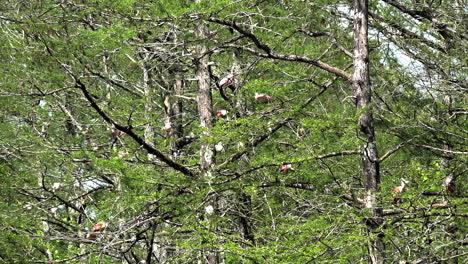 Louisiana-spoonbills-in-cypress-trees