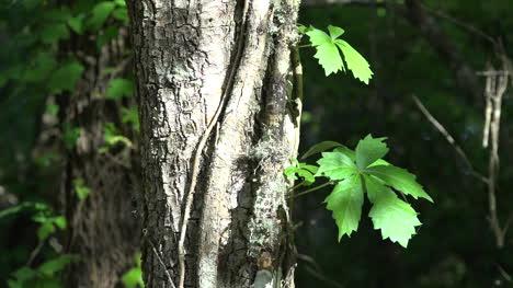Louisiana-Dos-Hojas-De-Una-Vid-Trepando-Un-árbol