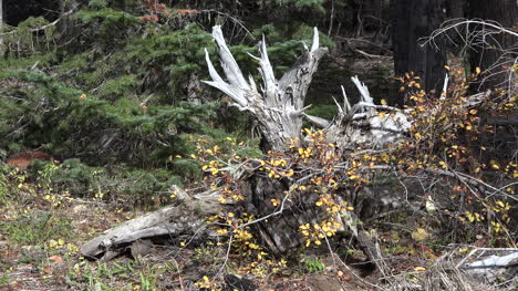 Oregon-downed-tree-root-in-fall