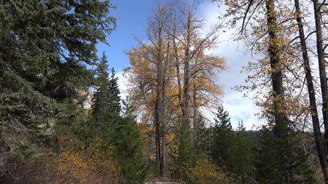 Árboles-De-Oregón-En-Bosques-En-Cascada-Acercar