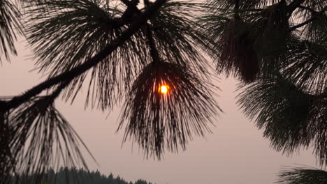 Sun-through-pine-needles-zooms-out