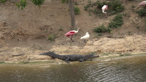 Texas-spoonbill-and-heron-walk-by-an-alligator