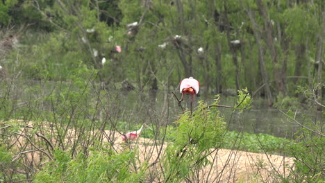 Texas-spoonbill-flapping-wings-on-bush