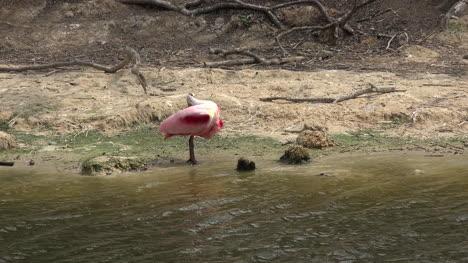 Texas-spoonbill-preening-and-drinking