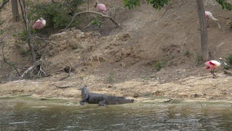 Texas-spoonbill-walks-by-alligator