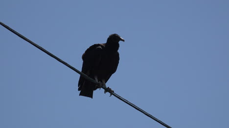 Texas-vulture-sits-on-wire