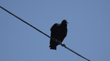 Texas-vulture-waits-on-wire