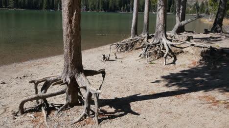 Wyoming-tree-roots-at-Jenny-Lake