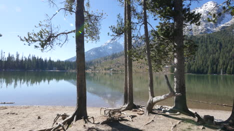 Wyoming-trees-with-stilt-roots-at-Jenny-Lake