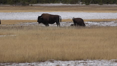Yellowstone-bison-bull-in-golden-grass