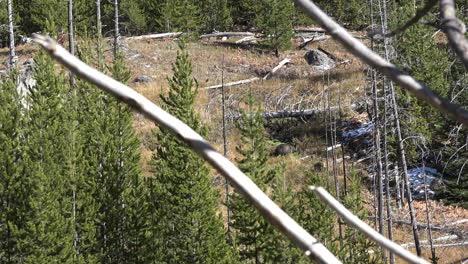 Yellowstone-Oso-Grizzly-Y-Un-Cachorro-En-La-Distancia