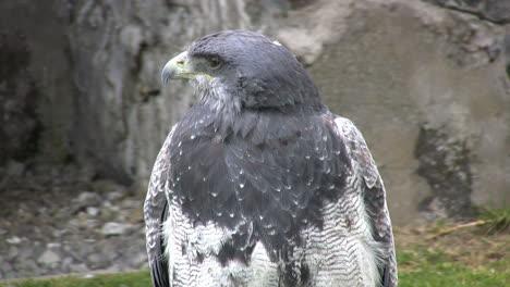 Ecuador-hawk