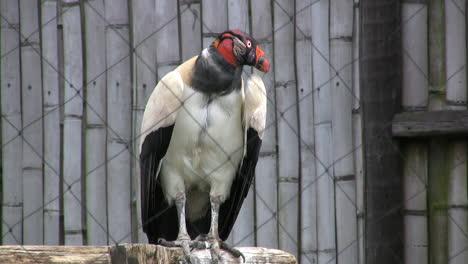 Ecuador-King-Vulture
