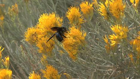 Arizona-bee-rabbit-bush