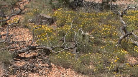 Arizona-Grand-Canyon-flowers
