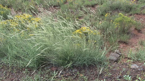 Arizona-grass