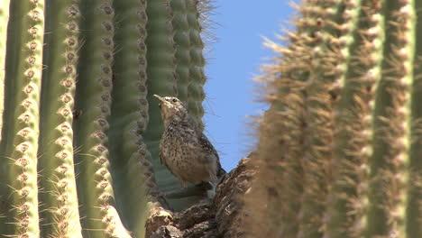 Arizona-saguaro-bird-flies-by-globescope