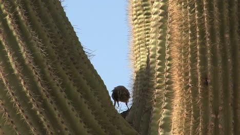 Arizona-saguaro-bird8