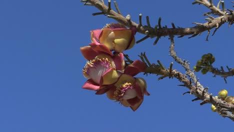 Camboya-Flores-Rosas
