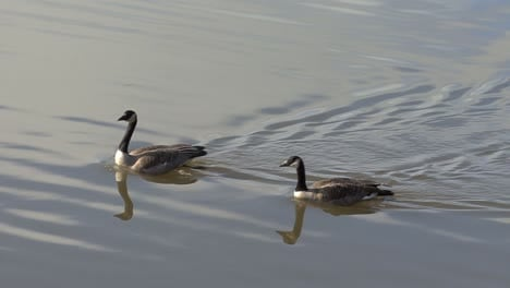Canada-geese-swimming