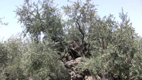 Israel-Olive-tree-Jerusalem