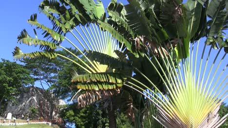 Malacca-travelers-palm