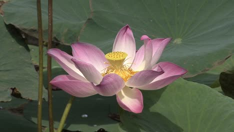 Mekong-lotus-flower