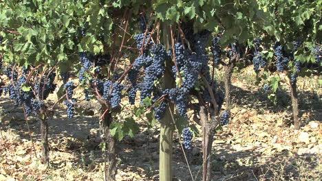 Nemea-Saint-George-s-grapes