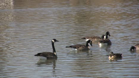 Geese-swimming-at-Saint-Michaels-MD