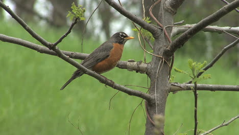 Robin-Encaramado-En-El-árbol