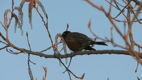 Robin-Cantando-En-Un-árbol-Floreciente