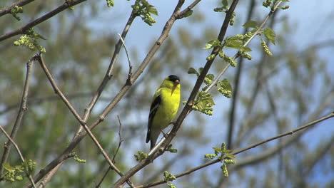 Jilguero-Americano-En-árbol-De-Primavera