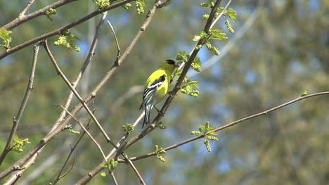 American-goldfinch-in-tree