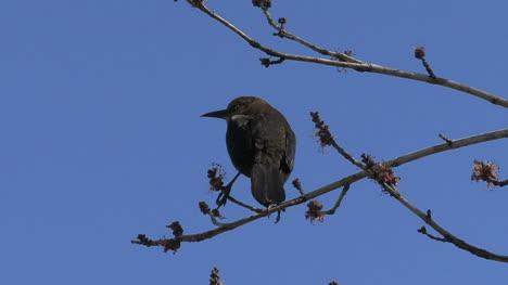 Rusty-Blackbird-on-branch