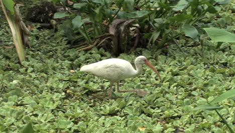 Florida-White-Ibis-in-a-swamp