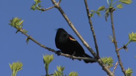 Red-winged-blackbird-in-tree