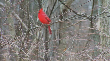 Cardinal-in-woods