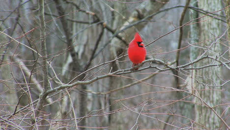 Cardinal-in-early-spring