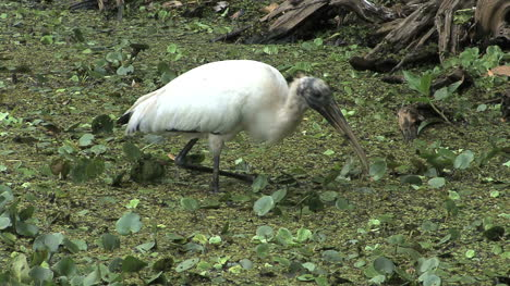 Florida-Wood-stork-eating