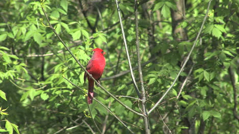 Cardinal-in-tree-with-green-leaves