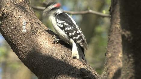 Downy-Woodpecker-male