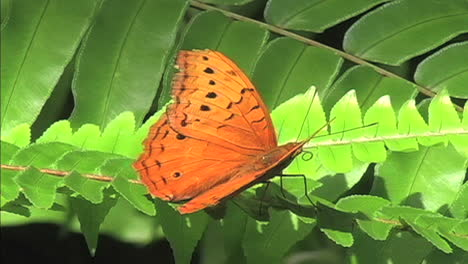 Orange-butterfly-on-green-leaves