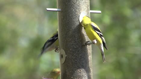 American-goldfinch-feeding