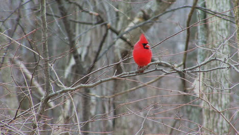 Bright-red-cardinal-in-tree