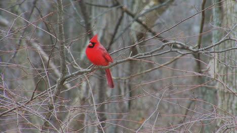 Cardinal-looks-around