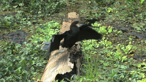 Florida-Anhinga-spreads-wings