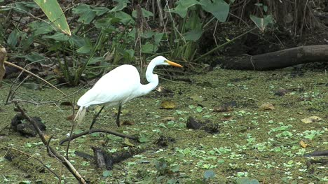 Florida-Egret-catches-prey